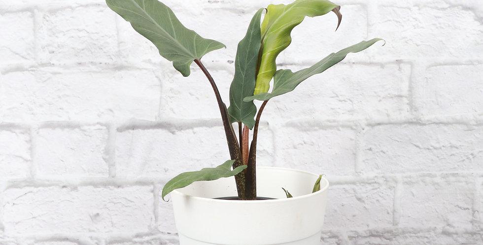 Alocasia Lauterbachiana in Contemporary Pot