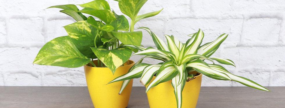Air Purifying Houseplant Duo