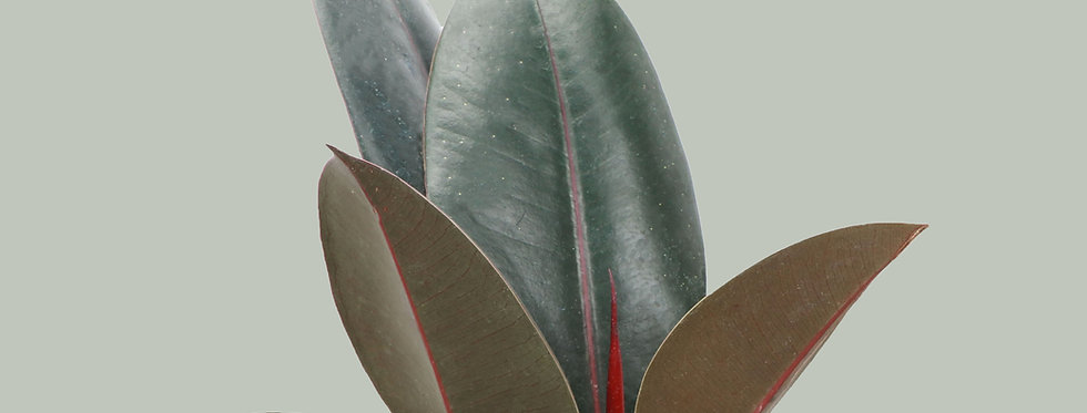 Ficus Elastica, Burgundy Rubber Plant