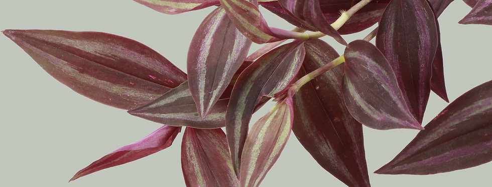 Tradescantia Zebrina, Purple Joy