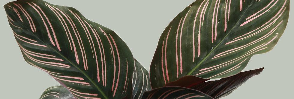 Calathea Ornata, Pink Pinstripe Calathea Plant