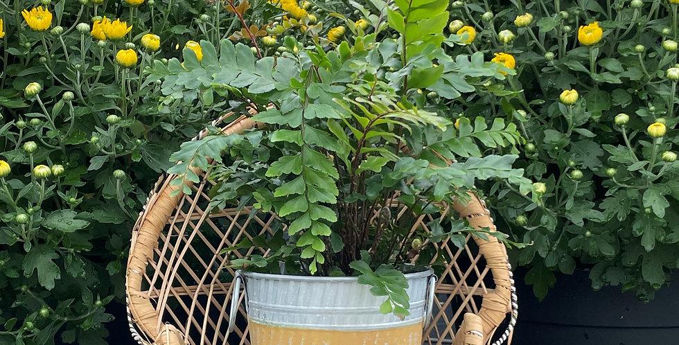 Mahogany Fern, Yellow Stripe Fall Pot