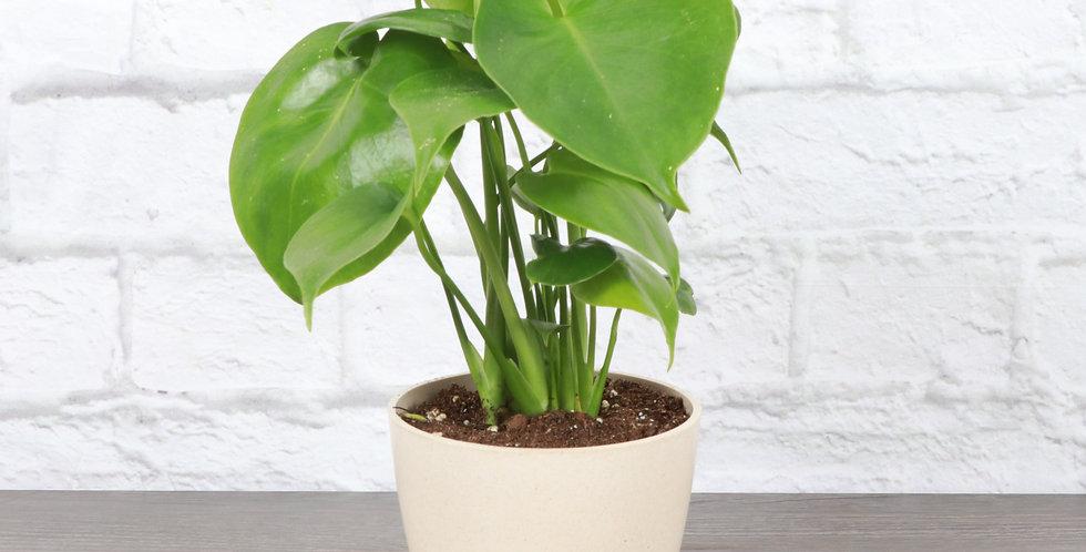 Monstera Deliciosa, Split-leaf Philodendron in Eco Pot
