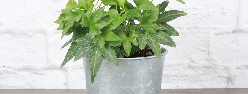Hedera Helix, Green English Ivy in Galvanized Steel Pot