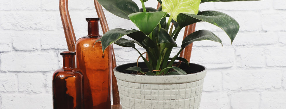 Philodendron 'Birkin' in Large Rustic Planter
