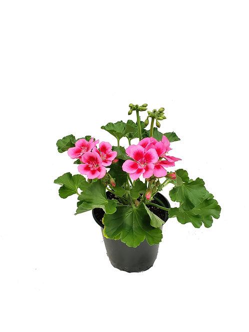 """4.5"""" Geranium"""