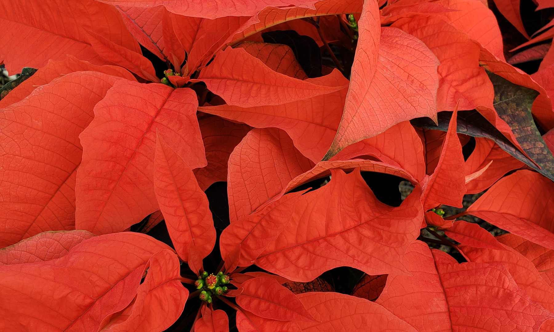 Orange Spice Poinsettia
