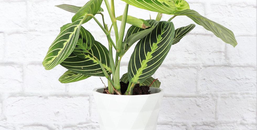 Maranta Leuconeura, Lemon Lime Prayer Plant in Modern White Planter