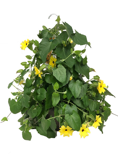 "12"" Black-eyed Susan Hanging Basket"