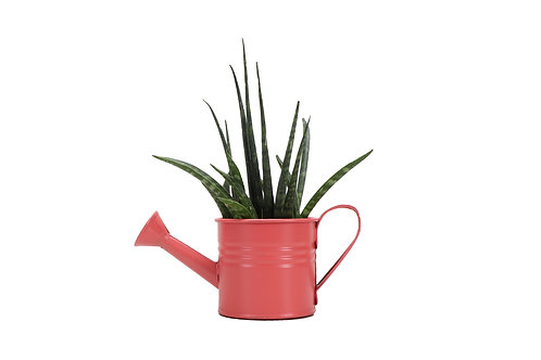 Cylindrica Snake Plant in Decorative Watering Can, Small