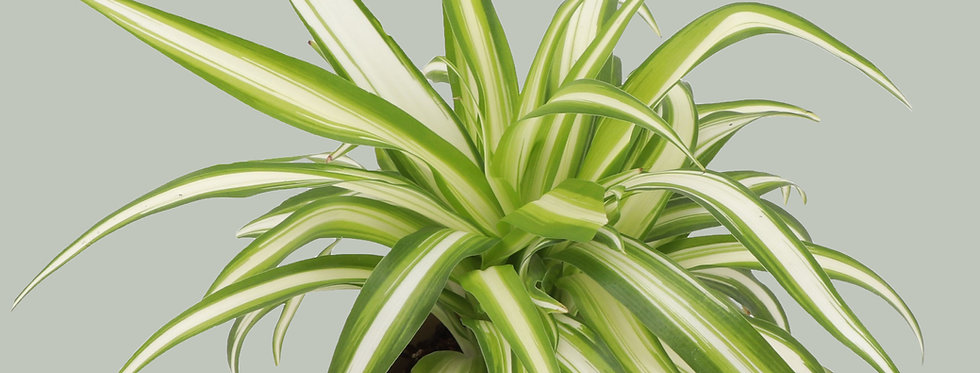 Chlorophytum Comosum, Spider Plant