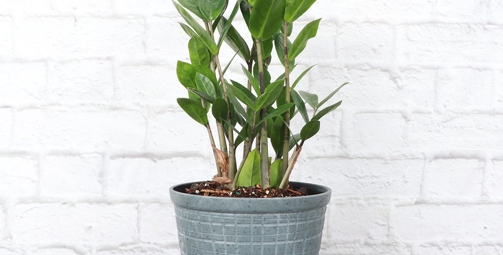 Zamioculcas Zamiifolia, ZZ Plant in Large Rustic Planter