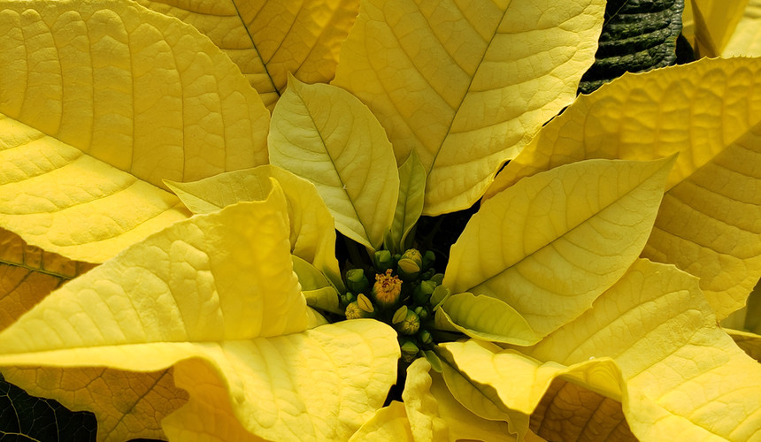 Golden Glow Poinsettia