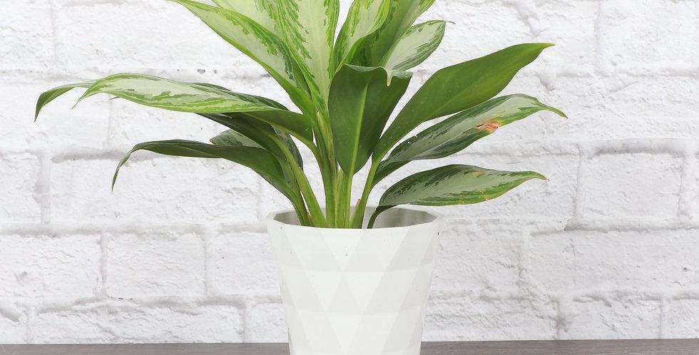 Aglaonema 'Silver Bay', Chinese Evergreen in Modern White Planter