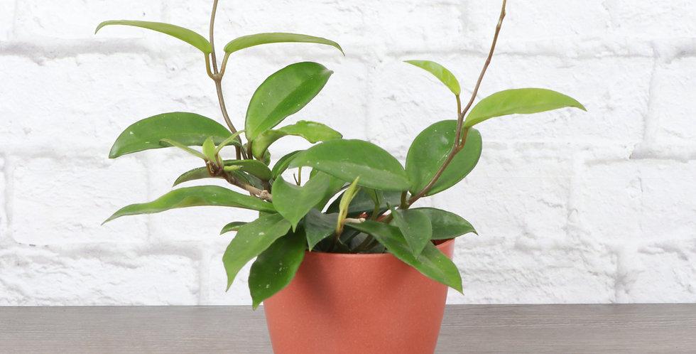 Hoya Carnosa, Green Hoya in Eco Pot