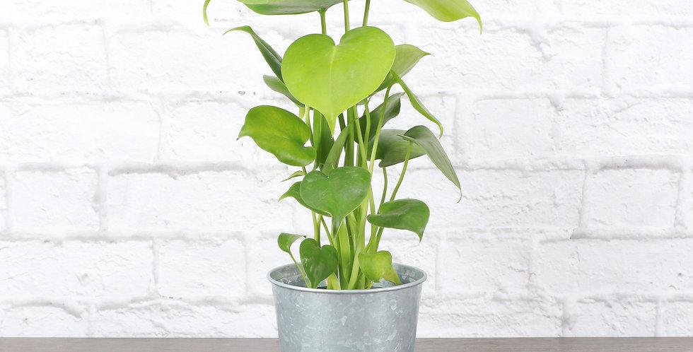 Monstera Deliciosa, Split-leaf Philodendron in Galvanized Steel Pot