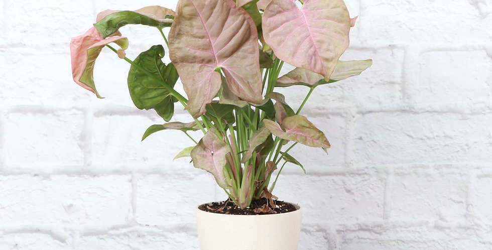 Syngonium podophyllum 'Pink Allusion', Butterfly Plant in Eco Pot