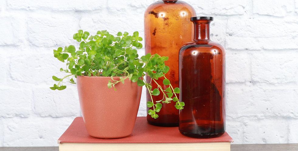 Pilea Depressa, Green Baby Tears in Eco Pot