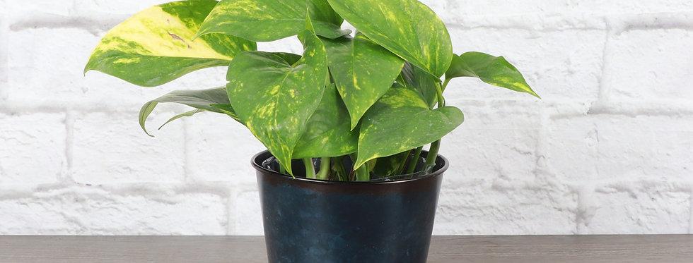 Golden Pothos, Devil's Ivy Plant in Navy Metal Pot