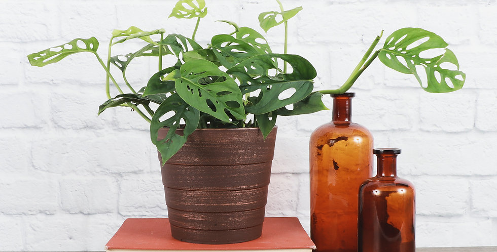 Monstera Adansonii, Swiss Cheese Plant in Contemporary Pot