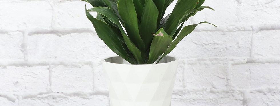 Dracaena Fragrans, Janet Craig Compacta in Modern White Planter