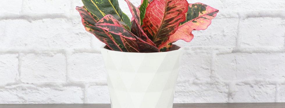 Codiaeum Variegatum, Petra Croton Plant in Modern White Planter