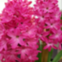 Red Hyacinth.png