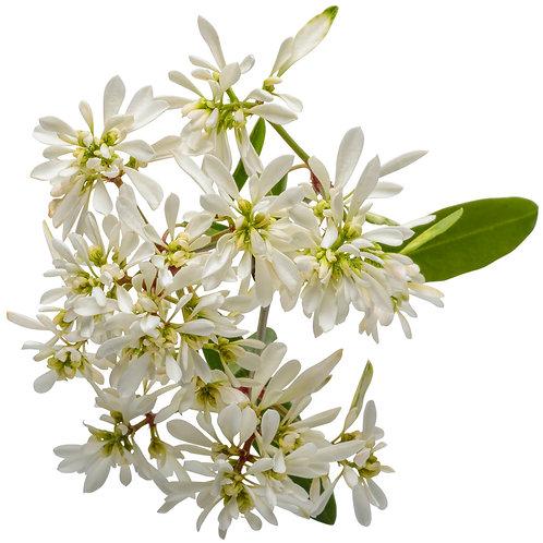 """4.5"""" Euphorbia Diamond Snow"""