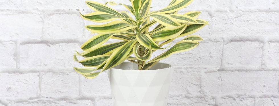 Dracaena Reflexa, Song of India Plant in Modern White Planter