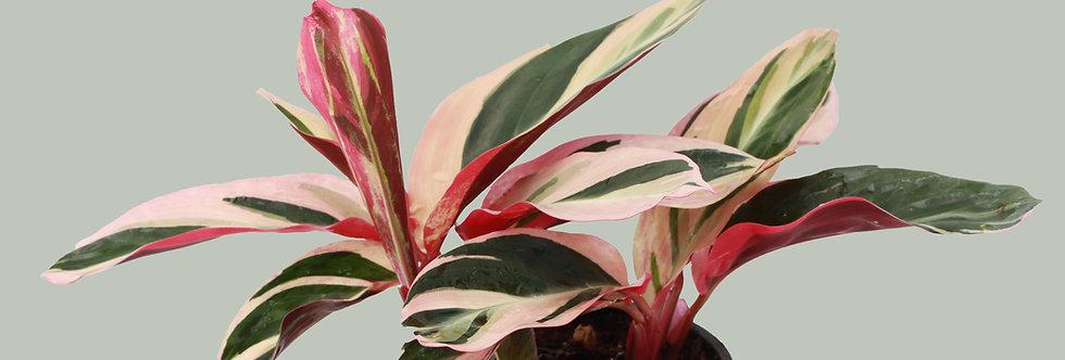 Stromanthe Sanguinea Triostar, Stromanthe Plant