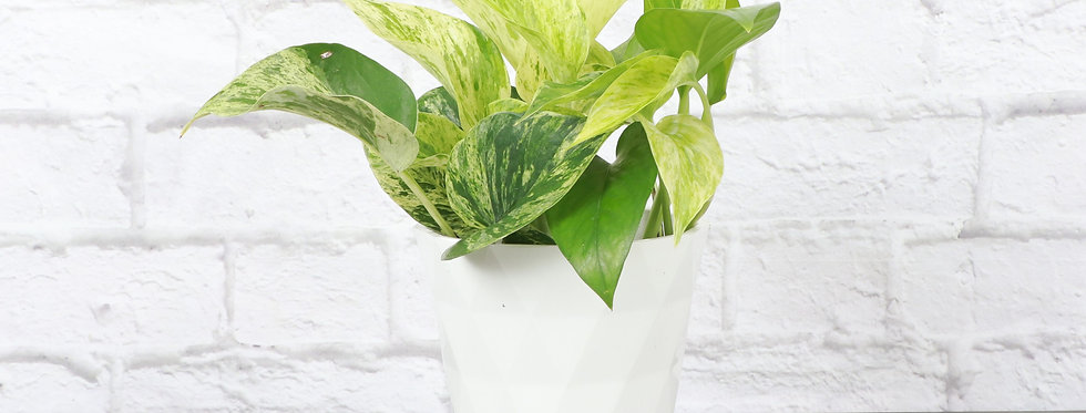 Marble Queen Pothos, Devil's Ivy Plant in Modern White Planter