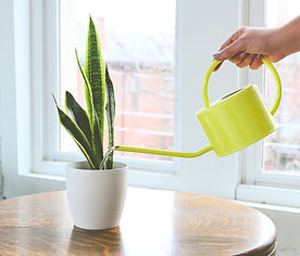 a snake plant in a white pot being watered with a yellow watering can
