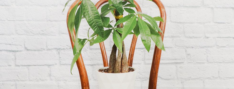 Pachira Aquatica, Money Tree in Modern White Planter