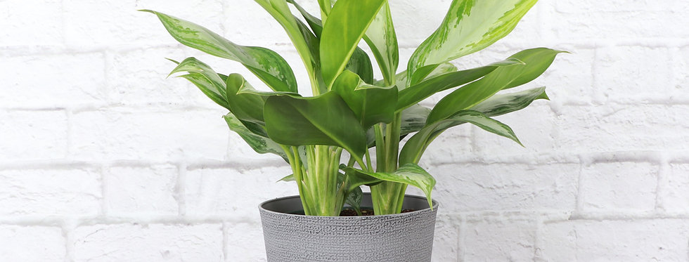 Aglaonema 'Silver Bay', Chinese Evergreen in Classic Gray Pot