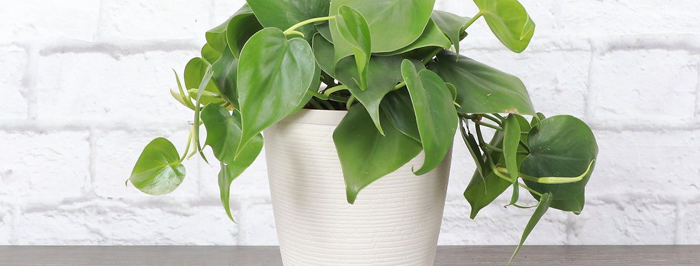 Philodendron Hederaceum, Green Heartleaf Philodendron in Farmhouse Planter