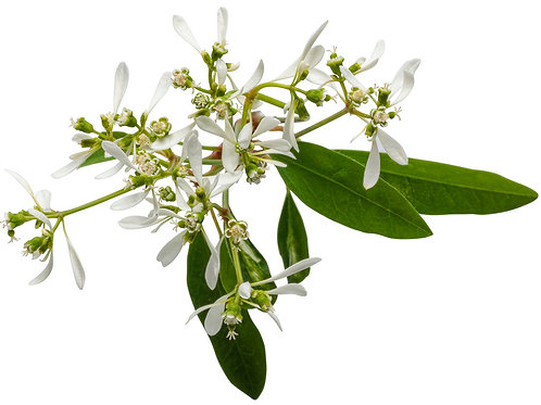 "4.5"" Euphorbia Glitz"