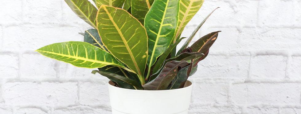 Codiaeum Variegatum, Petra Croton Plant in Contemporary Pot