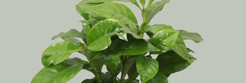 Coffea Arabica, Coffee Plant