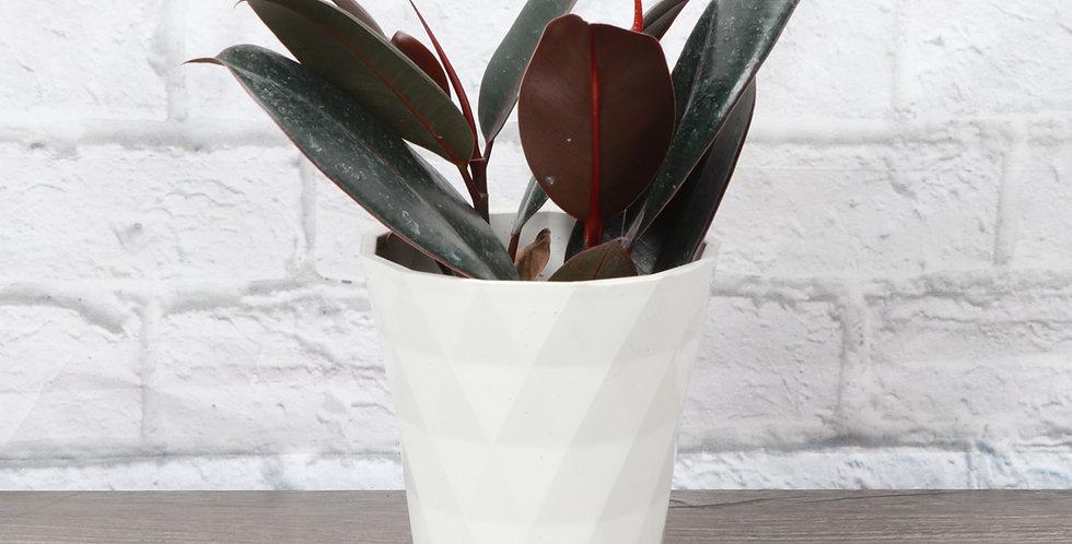Ficus Elastica, Burgundy Rubber Plant in Modern White Planter
