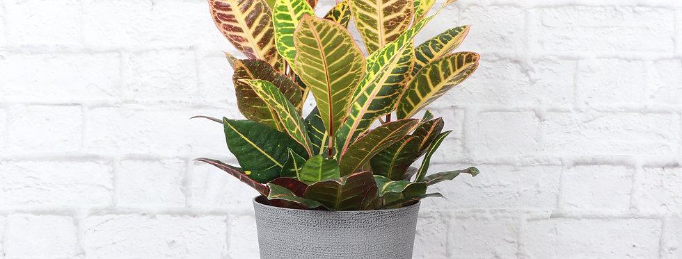 Codiaeum Variegatum, Petra Croton Plant in Classic Gray Pot