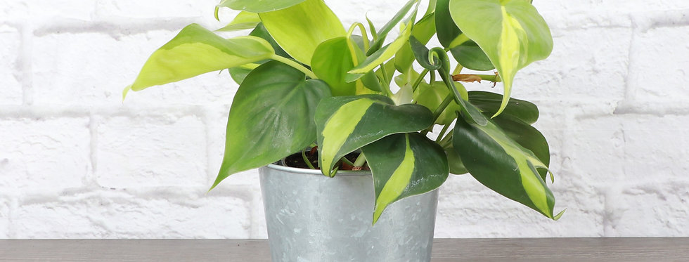 Philodendron Hederaceum, Brazil Philodendron in Galvanized Steel Pot
