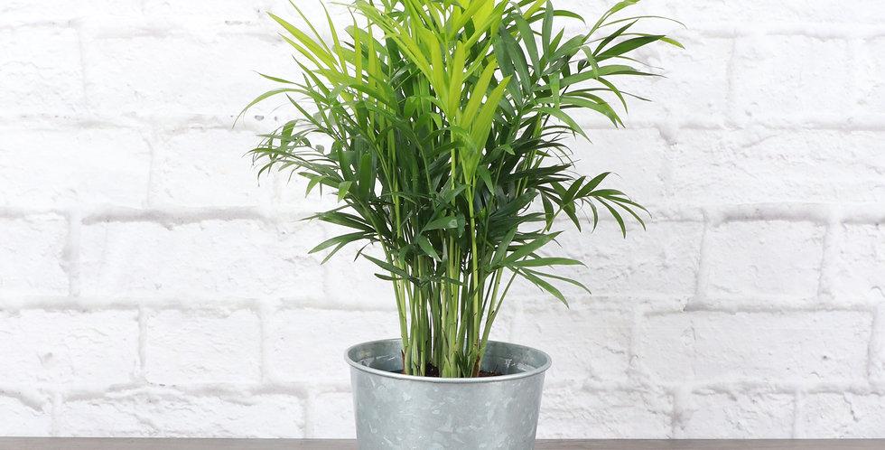 Chamaedorea Elegans, Parlor Palm in Galvanized Steel Pot