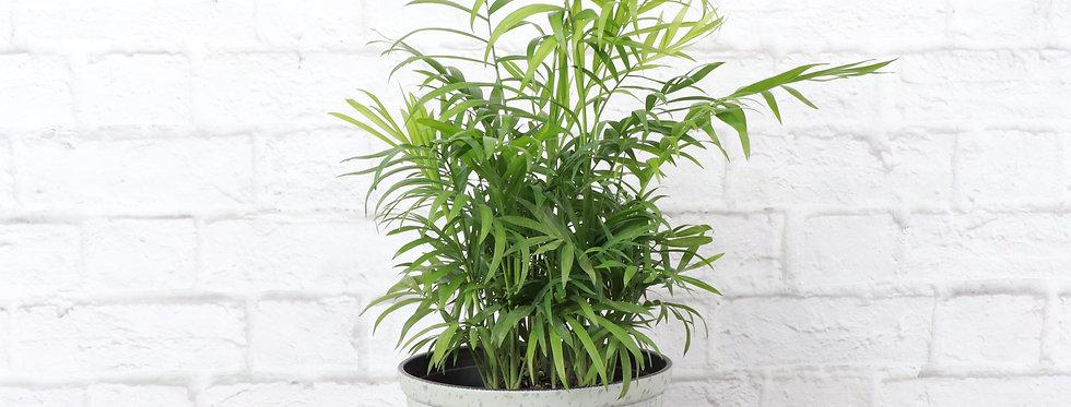 Chamaedorea Elegans, Parlor Palm in Large Rustic Planter