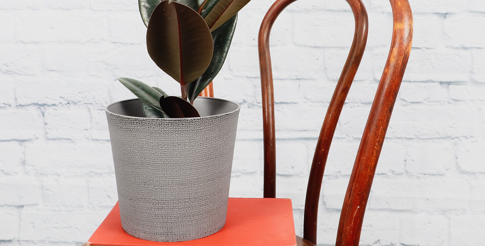 Ficus Elastica, Burgundy Rubber Plant in Classic Gray Pot