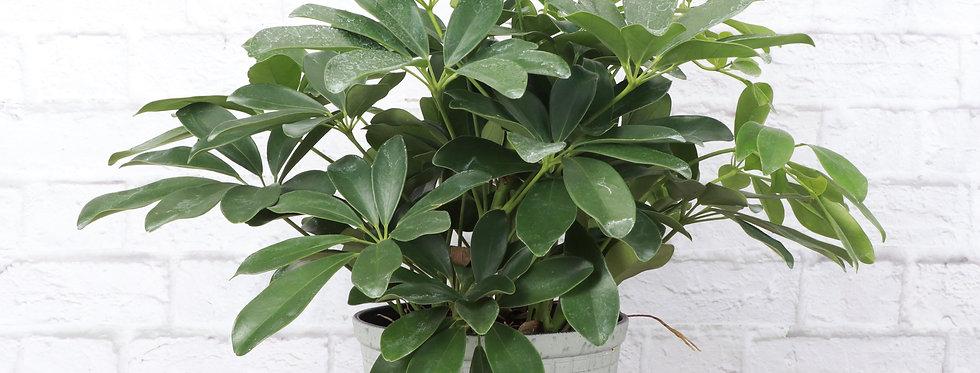 Schefflera Arboricola, Umbrella Tree Plant in Large Rustic Planter