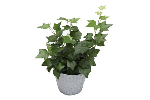 Green Ivy Plant, Rustic Metal Bucket