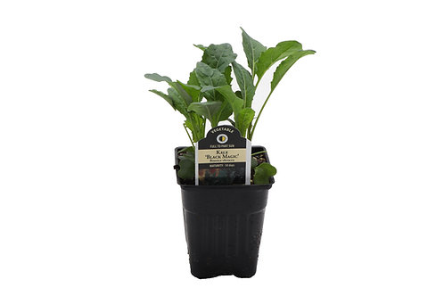 "3"" Salad Black Magic Kale"