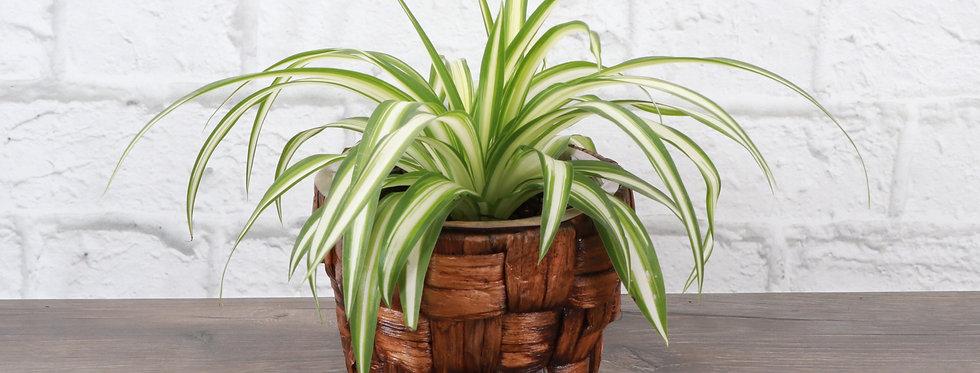 Chlorophytum Comosum, Spider Plant in Banana Leaf Basket