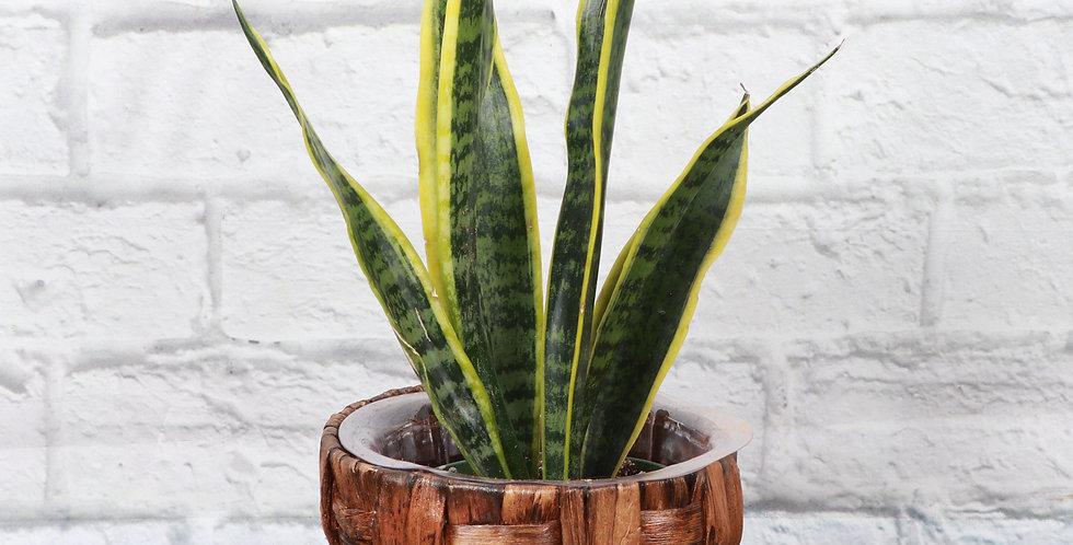 Sansevieria Laurentii, Variegated Snake Plant in Banana Leaf Basket