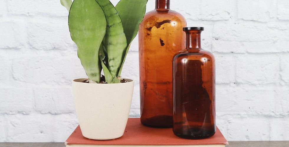 Sansevieria Trifasciata, Moonshine Snake Plant in Eco Pot